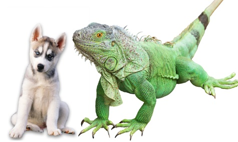 Huskey fight with toy iguana